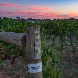 Campbells muscat rutherglen vineyard