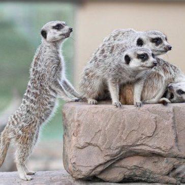 Mansfield Zoo Meerkats